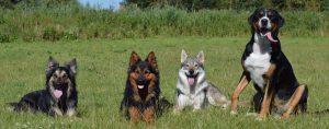 vier honden op een rij