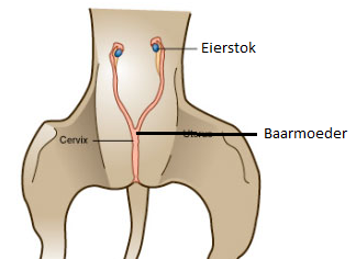 Hond sterilisatie – castratie of eerst kijkoperatie?